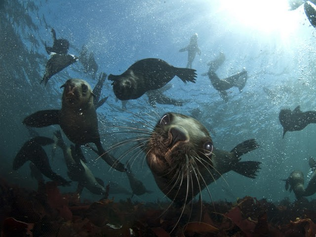 Image result for cape town cape fur seals diving