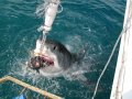 Shark Cage Dive Gansbaai TRF Adult